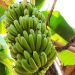 Bananas…!!!